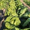 韓国で白菜の収穫🥬