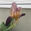 #1 ジャーマンアイリス 花が咲く