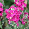 ピンクの菜の花?