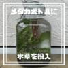 メダカ・ボトリウム・プロジェクト(MBP)②【100均ガラス瓶でボトルアクアリウム-水草を投入】