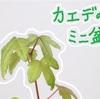 カエデのミニ盆栽get!