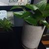 寛容になりたいから観葉植物育て始めた
