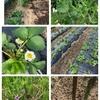 今日の家庭菜園 アスパラが出た! と昨日の酒津公園の桜