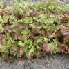 今年も【サニーレタス】を植えました。