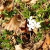芝桜(!?)が花を咲かせ始める