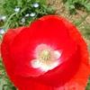 神原町花の会(花美原会)(331)        色鮮やかな早咲きのピカピカのポピ-4輪模様