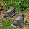 鳩の羽干し~鳩も人間も羽を伸ばすことは健康維持タイム
