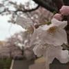 【お花見】満開!最高潮! 東京の超穴場オリセンの桜♪ 2016