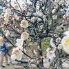 梅の花を見に、兼六園へ