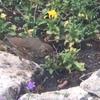 イギリスの野鳥たち⑤ カタツムリ大好き  バイオレントな美食家ソング・スラッシュ