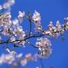 桜といえば目黒川や上野公園に行きたがる人の心理