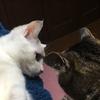 先住猫に子猫を会わせた時の反応