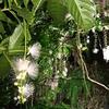 幻想的な「サガリバナ」ライトアップは宮古島の「お花見」