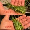 DAISOで始める『ウサギサラダ』2番刈り収穫!1番刈りと2番刈りの見た目と食べ具合を比較してみた!