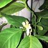 鉢植えレモンが開花!結実しない雄花と諦めていたら…|室内で鉢植えレモン『アレンユーレカレモン』栽培