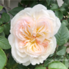 【庭】とりあえずバラが咲き始めたので②