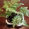 トキワシノブから新芽が沢山出て来た