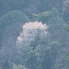 遠き山に山桜が霞む