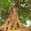 樹齢300年のイスノキ 福岡県古賀市薦野