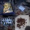 サンゴの植樹と駆除活動