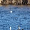 寒風吹きすさぶ手賀川で羽ばたくミコアイサ♂