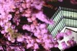 雨の五稜郭公園で撮る、夜桜と五稜郭タワー。