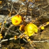 小田原城二の丸広場のロウバイと紅白梅、二宮吾妻山の富士山と菜の花