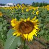 【お花見4】所沢ひまわり畑 (サイクリングコース24 多摩湖からクロスケの家 ひまわり)