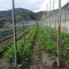 スナップエンドウ 栽培中