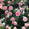 初めてちゃんとバラを見に行きました