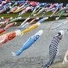 春の風物詩、加茂川を泳ぐ500匹の鯉のぼりが清々しい
