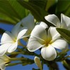 白い花と願いごと