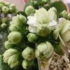 必見!「世界一のカランコエブランド」!八重咲きカランコエ【クイーンローズ・パリ】の美しさを堪能するしかない!