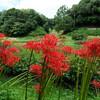 神戸)あいな里山公園。彼岸花。栗。ツバメ、ホオジロ、シジュウカラ、セグロセキレイ。クロアゲハ。
