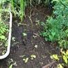 山菜の定植から1週間後