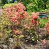 「佐久の季節便り」、「ヤマツツジ(山躑躅)」、「ブルーベリー」の花も咲いて…。