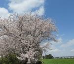 相模川沿いの桜並木!最後の輝き