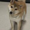 柴犬あきとの生活 179