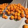 オレンジ剪定。