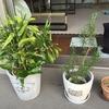 鉢の強風対策とバラの現状