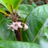 「藪柑子:やぶこうじ」の花咲く頃