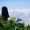この夏覚える高山植物VOL.26  「 エゾノハクサンイチゲ」