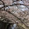 樱花盛开了