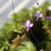 食虫植物「クリオネ」