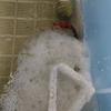 苦悩の末に・・・!ベタが産卵して孵化したよ!【ベタ繁殖記録その3】