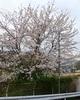 嵯峨野線・特急列車と桜の風景