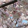 薄紅色の陽春桜