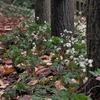 オウレンの咲く小道