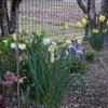 スイセンの香りが漂う庭