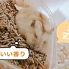 トイレで寝ているジャンガリアンハムスターのバナナちゃん。豆知識:ウンチを食べるのは正常?異常?